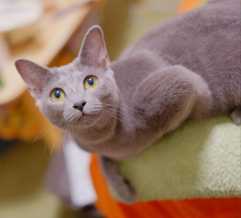 猫 ロシアンブルー 凶暴