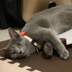 猫 ロシアンブルー 飼いやすい