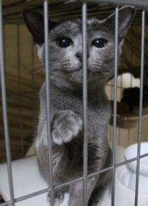 猫 ロシアンスマイル ロシアンブルー