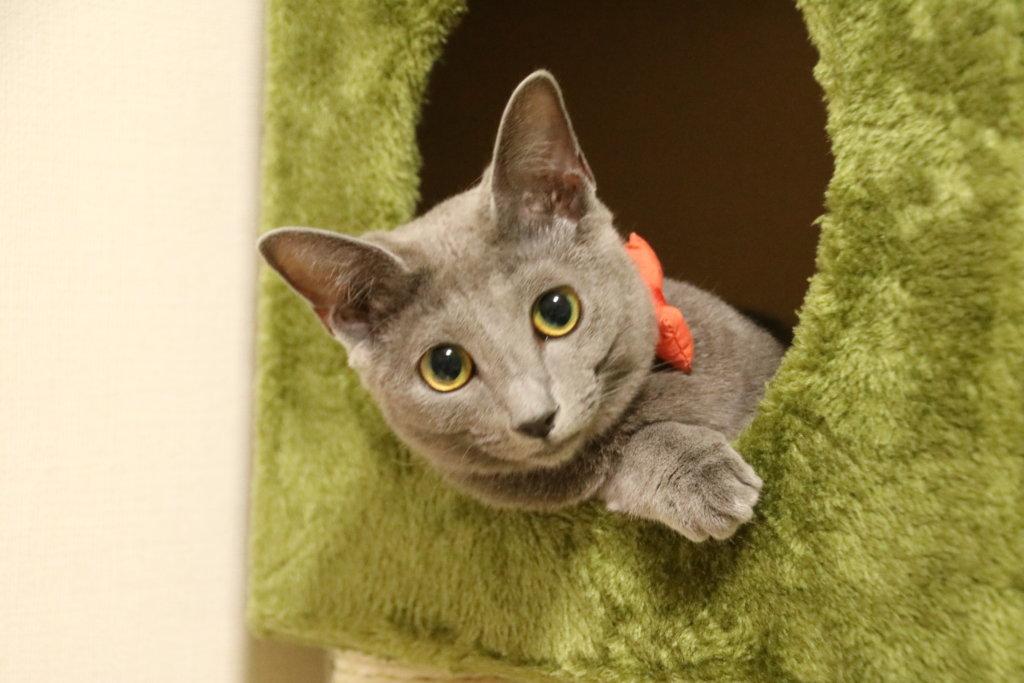 猫 ロシアンブルー 魅力