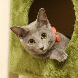 猫 ロシアンブルー 魅力 飼いやすい