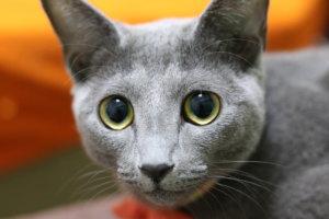 猫 ロシアンブルー かわいい