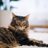 猫 肛門嚢炎 症状