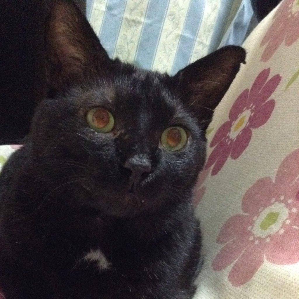 黒猫 性格 オス 特徴 甘えん坊