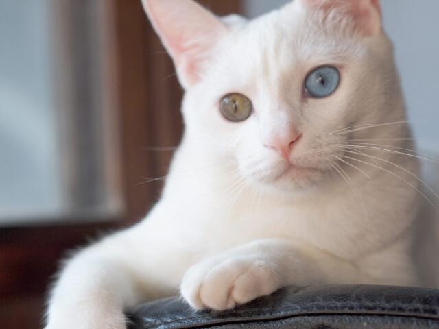 オッドアイ 猫 目の色