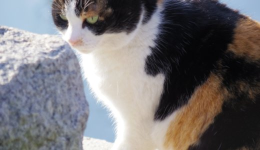 猫 三毛猫