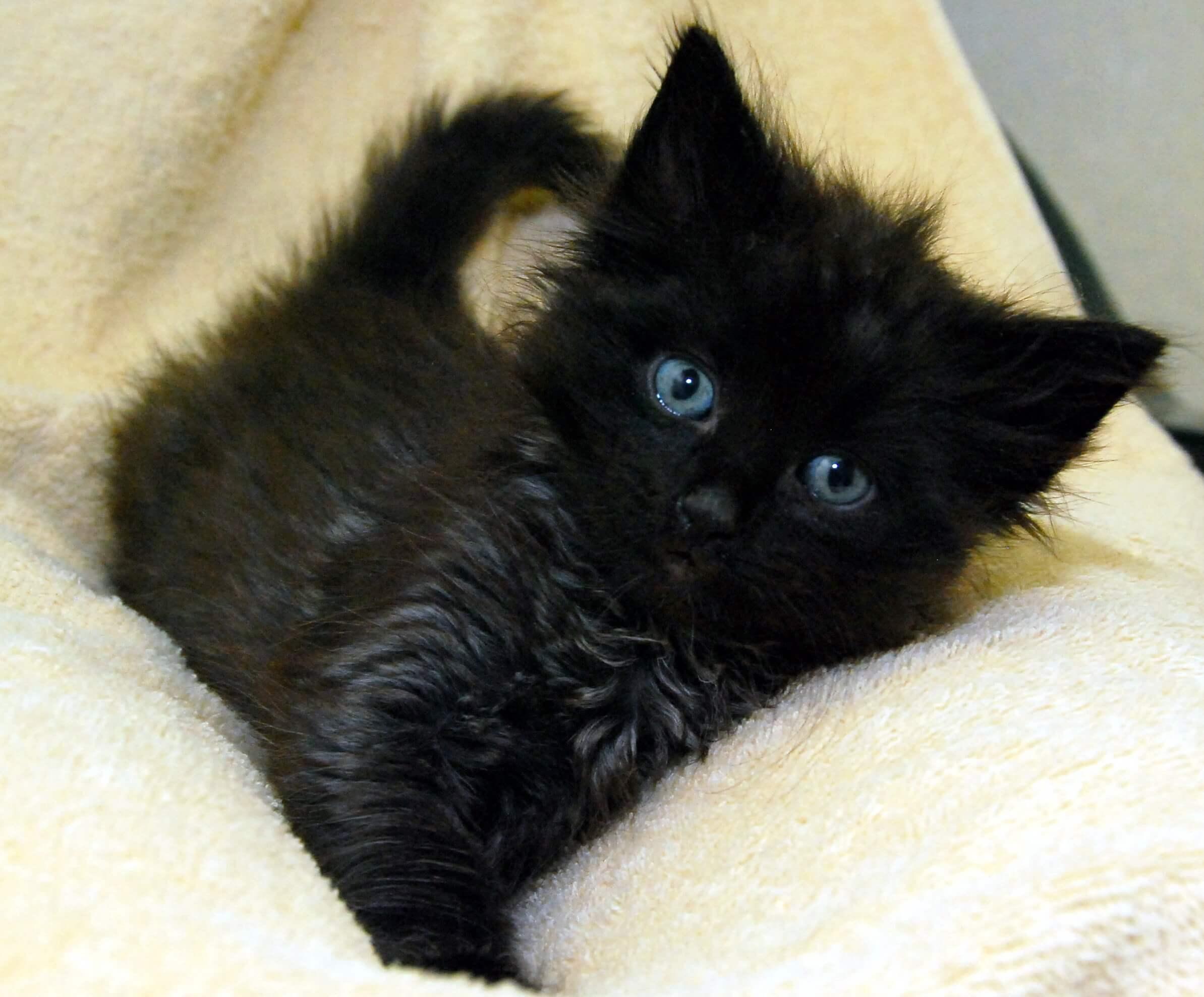 猫 子猫 キトンブルー