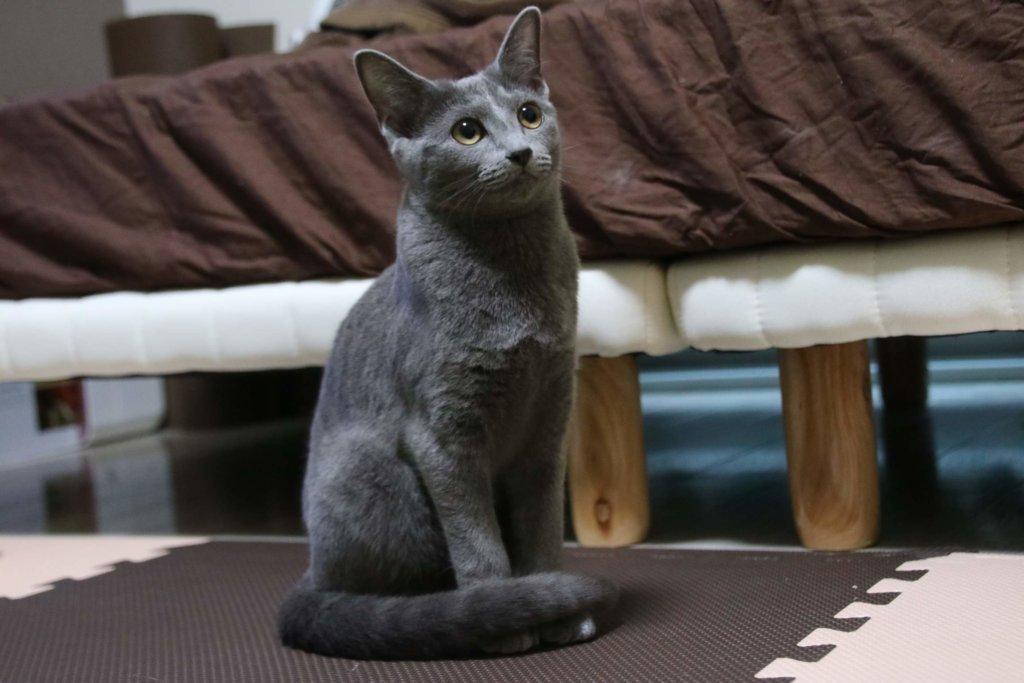 ロシアンブルー 適正体重 6か月