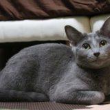 猫 嫉妬深い ロシアンブルー
