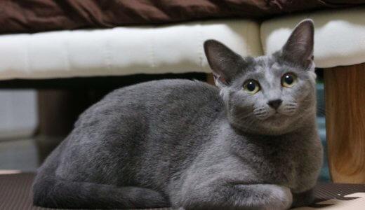 ロシアンブルーが嫉妬深いのはホント?うちの猫が嫉妬する時のかわいい行動を紹介します