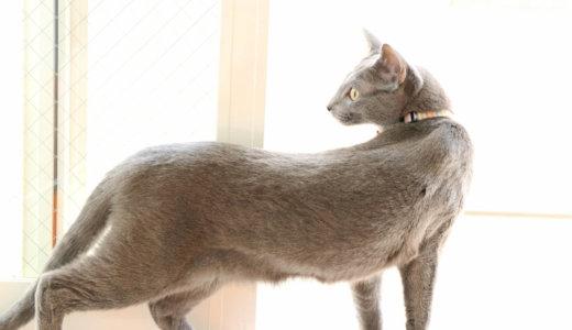 ロシアンブルー 体重 猫 適正