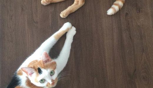 猫がトイレの前後でハイになって暴れるのはナゼ?原因と対策を解明!