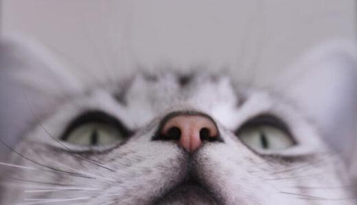【要チェック】猫の鼻が乾燥すると病気?乾燥する原因と対策法をご紹介
