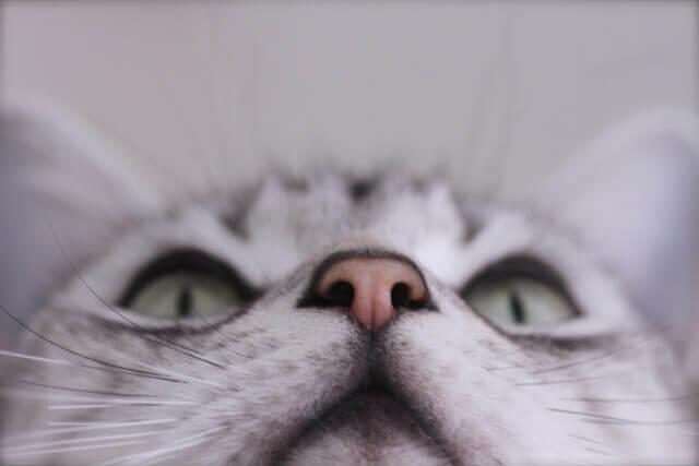 猫 鼻 乾燥 病気