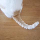 猫 しっぽ 種類 短い
