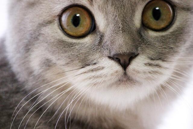 目の色 猫