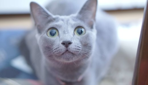 検証│メス猫は男好きなのか?うちのロシアンブルー(♀)の男性への反応を調べた結果