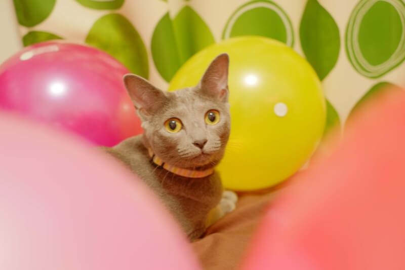 猫 避妊手術 費用 期間