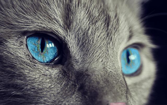 猫 目の色 ブルー