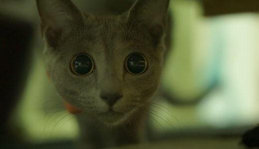 人気の猫の種類・ロシアンブルーの目の色が変わる?黄色や茶色の目の子はいるの?色の変化を写真で紹介