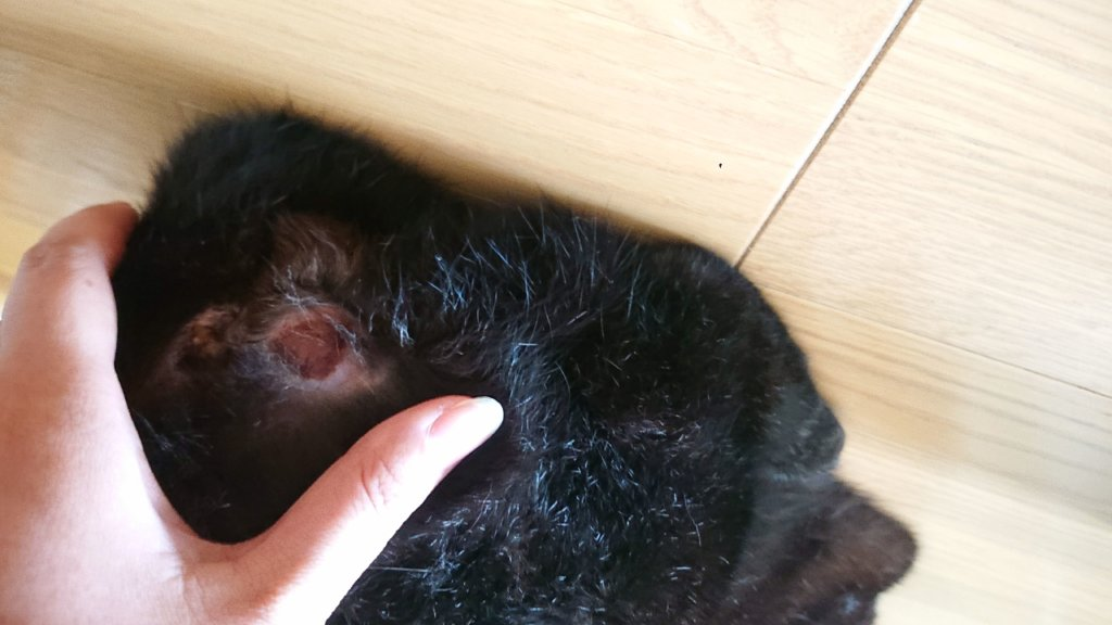 猫 肛門嚢炎 破裂 再発 費用 治療