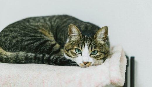 【体験談】猫の肛門嚢炎は再発するの?再発時の症状や処置法・費用を教えます