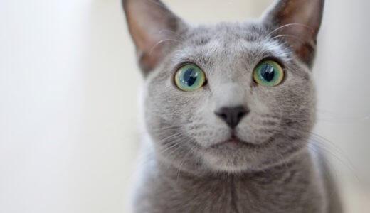 猫 ロシアンブルー
