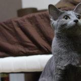 ロシアンブルー 子猫 性格 目の色 病気