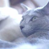 猫 ロシアンブルー 猫アレルギー 治る