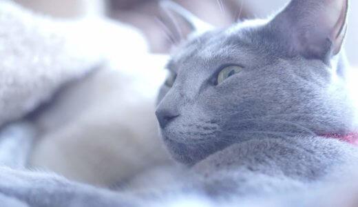 猫アレルギーの私でも猫を飼えた克服法!ロシアンブルーは飼える品種?治る?対策を紹介!│飼いたい人へ