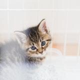 猫 ペットショップ ブリーダー 譲渡会 メリット デメリット