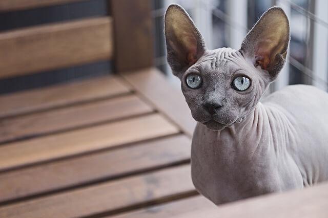 猫 汚れ 落とし方 スフィンクス