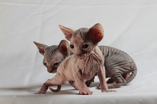 猫 ペットショップ ブリーダー メリット
